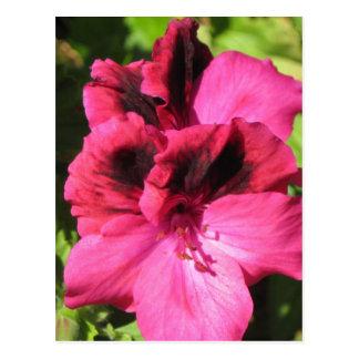 Flor rosado del Pelargonium Tarjeta Postal