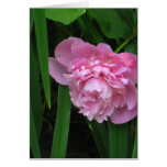Flor rosado del Peony - fotografía Tarjeta