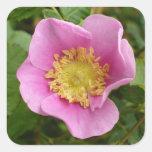 Flor rosado del rosa de arbusto pegatina cuadradas personalizadas