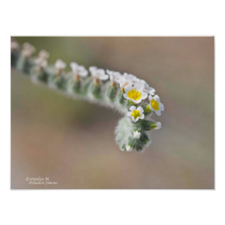 Flor salvaje de Chipre Póster
