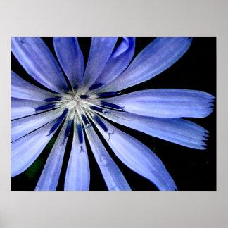 Flor salvaje de la achicoria azul póster