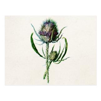 Flor salvaje del cardo escocés viejo del vintage 1 tarjeta postal