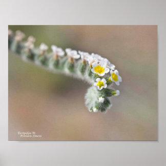 Flor salvaje rizada de Chipre Póster