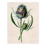 Flor salvaje vieja del cardo del escocés del vinta postales