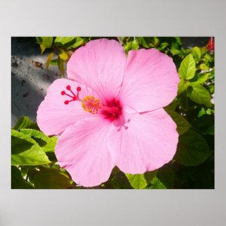 Flor tropical del hibisco rosado póster