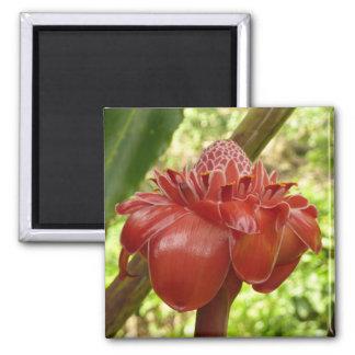 Flor tropical del jengibre rojo de la antorcha imán cuadrado