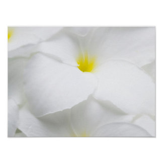 Flor tropical hawaiana del Frangipani blanco del Póster