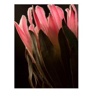 Flor tropical rosada intrépida del Protea Postales