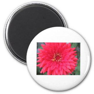 flor, zinnia rosado oscuro imán redondo 5 cm