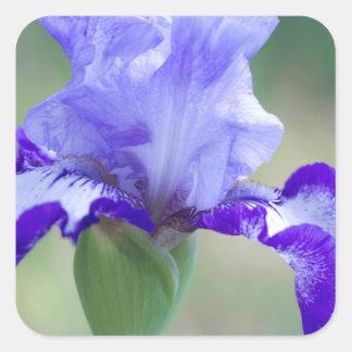 Floración alta púrpura y azul del iris barbudo pegatina cuadrada