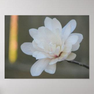 Floración blanca del Centennial de la magnolia Póster