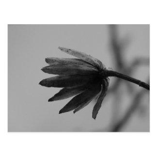 Floración blanco y negro del álamo tarjeta postal