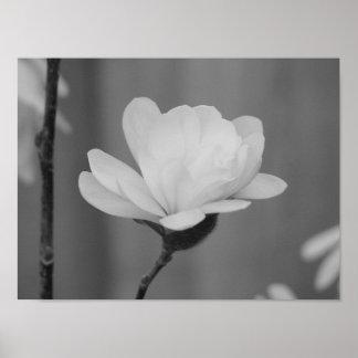 Floración blanco y negro del Centennial de la magn Póster