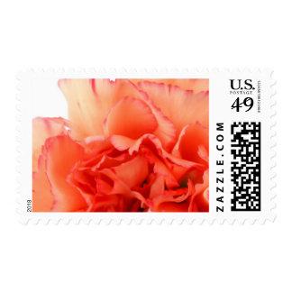 Floración coralina de la flor del clavel sello