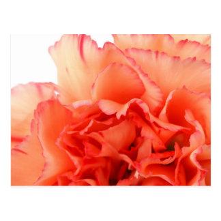 Floración coralina de la flor del clavel tarjetas postales