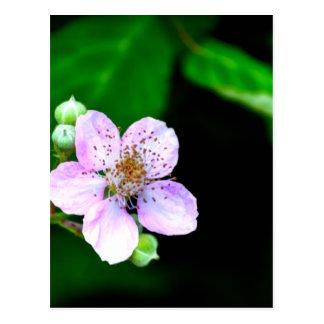 Floración de Blackberry Postales