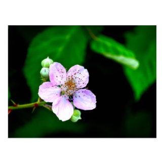 Floración de Blackberry Tarjeta Postal