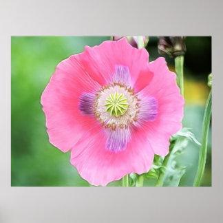Floración de la amapola - Papaver - somniferum Póster