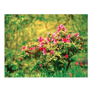 Floración de la azalea postales