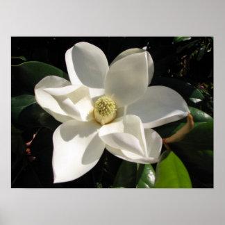 Floración de la magnolia posters