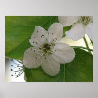 Floración de la pera de Bradford Poster