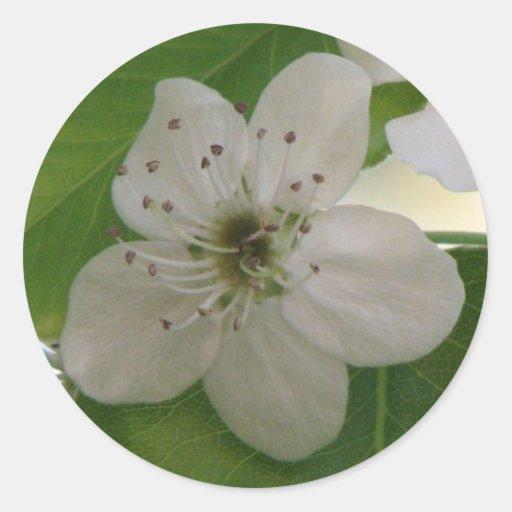 Floración de la pera de Bradford Etiquetas Redondas