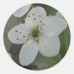 Floración de la pera de Bradford Pegatinas