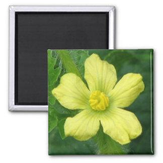 Floración de la sandía imán cuadrado