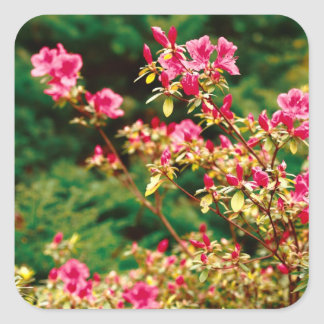 Floración de las azaleas pegatina cuadrada
