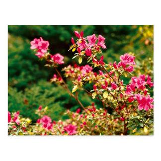Floración de las azaleas tarjetas postales