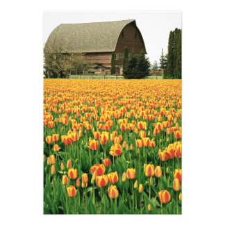 Floración de los tulipanes de la primavera delante impresión fotográfica