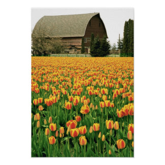 Floración de los tulipanes de la primavera delante posters