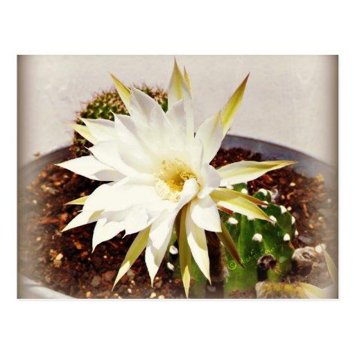 Floración del cactus postal