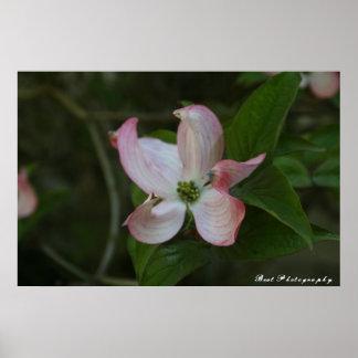 Floración del Dogwood Póster