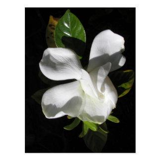 Floración del Gardenia Postales