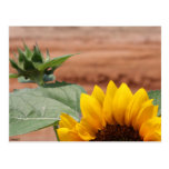 Floración del girasol tarjetas postales