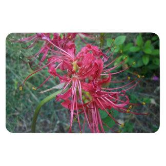Floración del lirio de la araña imán rectangular
