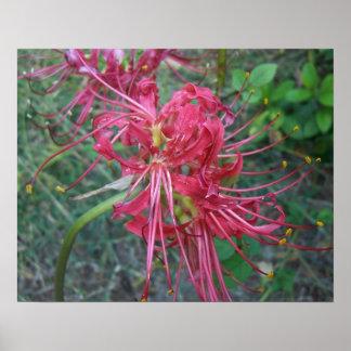 Floración del lirio de la araña póster