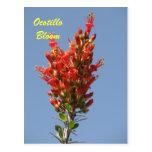 Floración del Ocotillo Tarjetas Postales