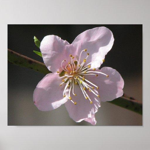 Floración hermosa de la frambuesa poster