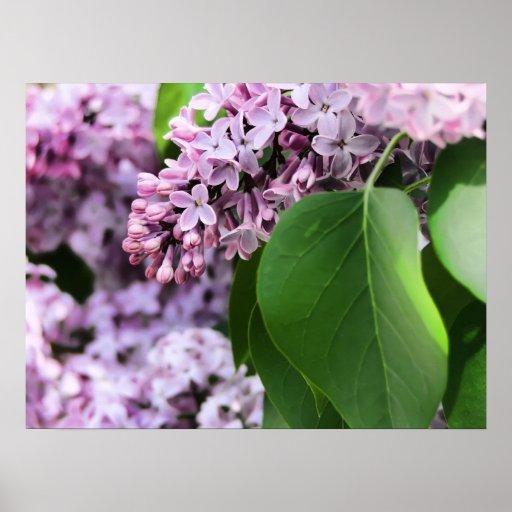 floración hermosa de la lila póster