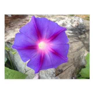 Floración púrpura y rosada de la correhuela postal