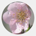 Floración rosada de la frambuesa pegatinas redondas