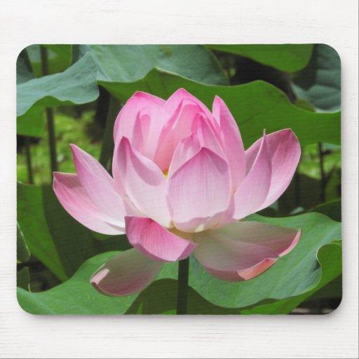 Floración rosada de Lotus Tapetes De Ratón