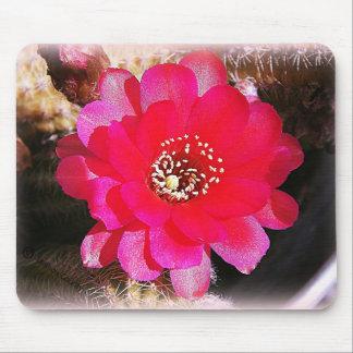 Floración rosada del cactus alfombrilla de raton