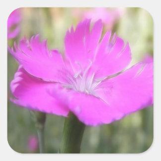 Floración rosada del clavel pegatina cuadrada