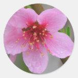 Floración rosada mojada 2 de la frambuesa pegatinas redondas