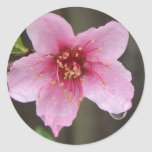 Floración rosada mojada de la frambuesa pegatina redonda