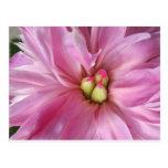 Floración rosada polvorienta del Peony Tarjeta Postal