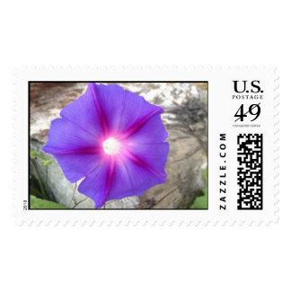 Floración rosada y púrpura de la correhuela franqueo